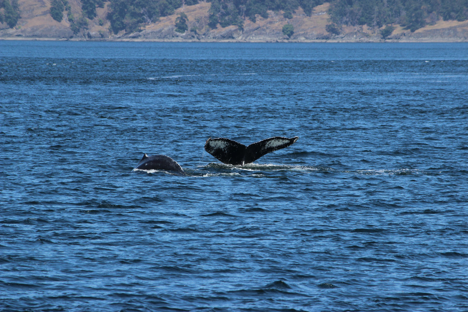 Whale Watching in the San Juan Islands : Northwest Trip Day 6
