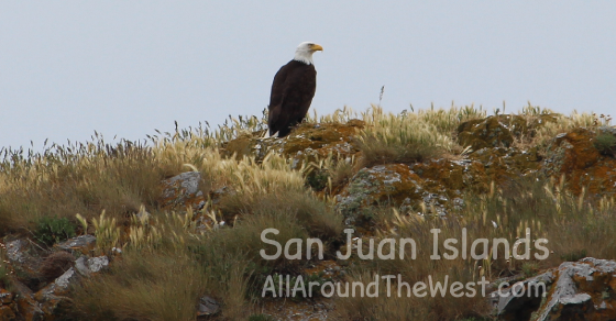 Bald Eagles in the San Juan Islands