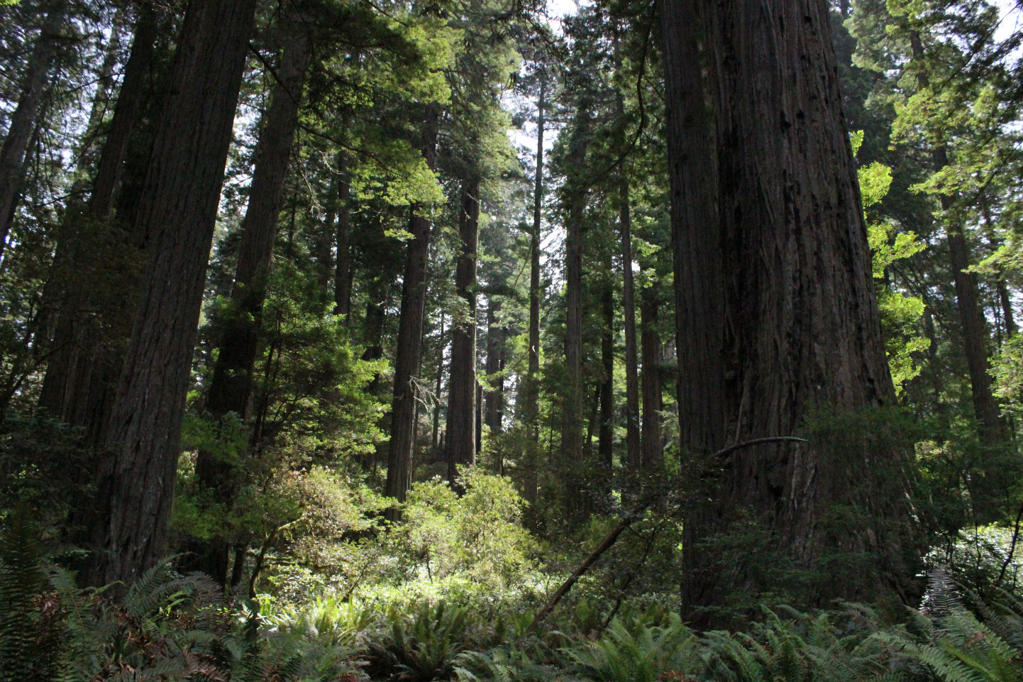 California Redwoods : Podcast 22